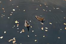 Flock Of Ducks In Knaresborough, United Kingdom
