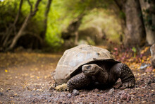 Close-up Of Galapagos Tortoise On Ground