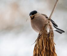 Eurasian Bullfinch (Pyrrhula Pyrrhula) Female Sitting On A Stick And Eating Seeds Ash