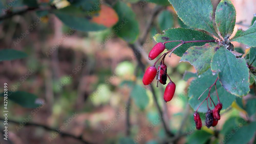 Fototapeta Dojrzałe czerwone owoce berberysu jesienią