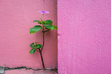 Close-up Of Periwinkle Against Pink Wall