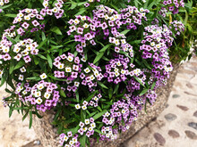 White And Violet Lobularia Maritima Flowers Bloom In A Stone Pot On A City Street.