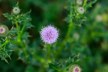 The Nice Bull Thistle Flower That Is On The Noxious Weed