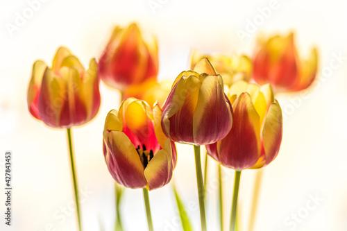 tulipany żółto-czerwone na białym tle  - fototapety na wymiar