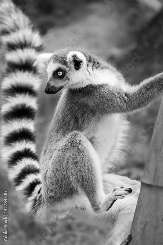 Fototapeta premium The Everyday Life Of A Lemur Monkey In The Zoo.