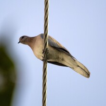 Dove Perching On Street Wire