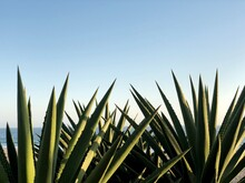 Agave Plants With Sun And Blue Sky