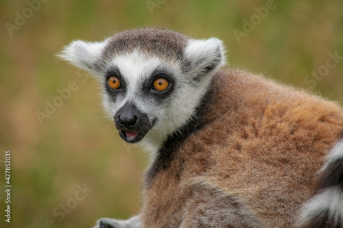 Fototapeta premium Close-up Portrait Of Lemur Looking Away Outdoors