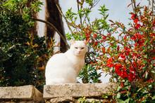 Un Chat Blanc Sur Un Mur Regarde La Caméra. Le Portrait D'un Joli Chat Blanc Assis Sur Un Mur Au Printemps.