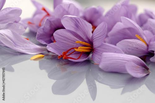 Fotografie, Obraz close up of Sardinian saffron flower and pistil called zafferano di San Gavino t