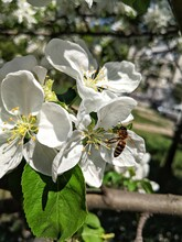 A Bee Is Pollinating A Flower That Is Blooming On A Tree In A Garden. Spring Time. Blooming, Pollinating