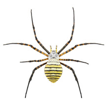 Banded Garden Spider Or Banded Orb Weaving Spider, Argiope Trifasciata, Female, Isolated On A White Background