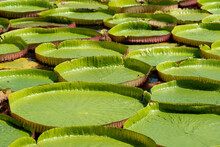 Close-up Victoria Amazonica In The Pond With Giant Green Leaves Cover The Pond Surface