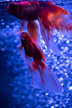Nice Golden Fish In Air Bubbles In Freshwater Aquarium