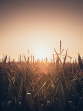 High Angle View Of Stalks In Field Against Sunset Sky