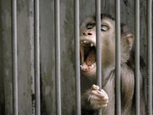 The Monkey Screamed