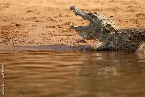 Leinwand Poster crocodile du nil - Nile crocodile