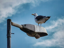 Seagull On A Lamp Post.