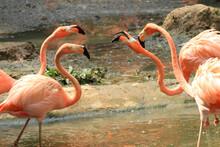 Kuba-Flamingo (Phoenicopterus Ruber) Oder Roter Flamingo, Gruppe Im Wasser