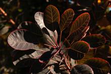 Cotinus Coggygria Tree Plant Leaves, Close Up.
