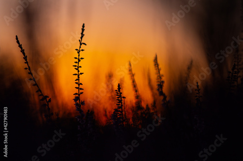 Canvas Print Heathers at sunset. Blooming moorland.