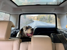 Dog In The Back Of A Land Rover, Sariyer, Istanbul, TURKEY