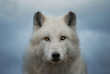 Arctic Wolf Looking At The Camera, Canis Lupus Arctos, Polar Wolf Or White Wolf, Close-up Portrait