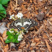 Citrus Swallowtail Butterfly Feeding