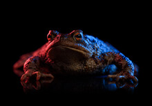 Common Toad Portrait In Red And Blue Neon Light Isolated On Black Background With Reflection.