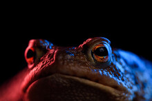 Common Toad Portrait Macro In Red And Blue Neon Light
