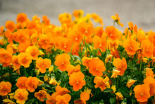 Bright Orange Primrose Flowers (Primula Polyantha) Bloom In Early Spring