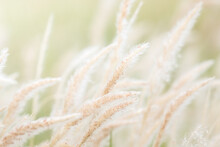 Summer Background, Dry Grass Flower Blowing In The Wind,
