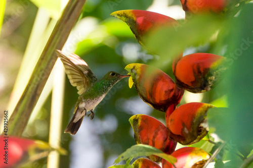 Fototapeta premium A small hummingbird feeding on a lobster claw Heliconia flower with an unfocused background.