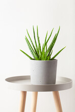 Green Houseplant Succulent Aloe Vera
