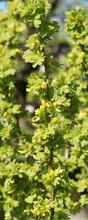 Caraganier De Sibérie Ou Acacia Jaune - Caragana Arborescens - Petit Arbre Arrondi à Fines Branches épineuses Garnies D'un Feuillage Vert Vif Et De Courtes Grappes De Fleurs Jaunes