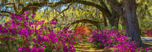 Pathway Through Beautiful Blooming Park. Azaleas Flowers Blooming Under The Oak Tree On A Spring Morning. Magnolia Plantation And Gardens, Charleston, South Carolina. Image For Banner Or Web Header
