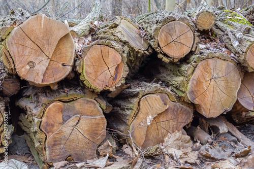 Fototapeta ścięte drzewa obraz