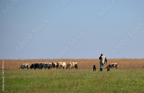 Fototapeta Cows grazing grass on meadow with cowherd and two dogs