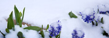 Close Up Of A Purple Hyacinth In The Snow.Spring Background.