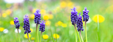 Grape Hyacinth Bulbs In Field Full Of Dandelions And Flowers. Springtime Green Meadow With Yellow And Blue Flowers.