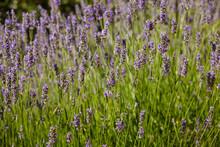 Lavender Purple Flowers Blossom In Summer