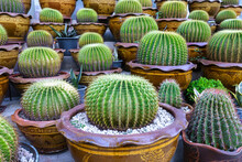 Big Head Cactus Garden In A Clay Pot