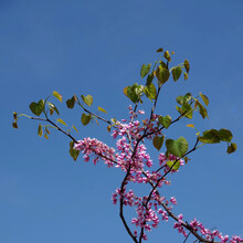 Fresh Purple Pink Flowers Of The Forest Pansy Redbud Tree In Spring