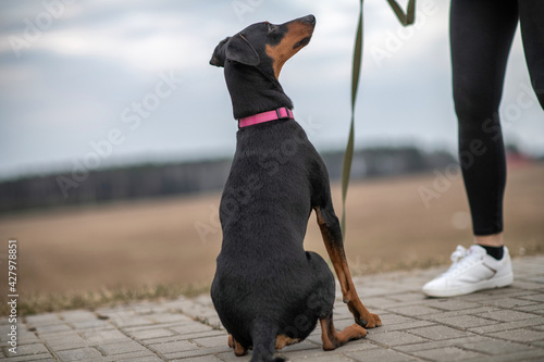 Young handsome German pinscher on a leash in cloudy weather. Fotobehang