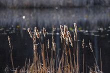 Tall Bulrush Grass In Wetlands During Spring Time