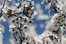 Selective Focus Shot Of A Bumblebee Collecting Pollen From Cherry Tree Blossoms