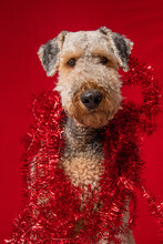 Portrait Of An Airedale Terrier Wrapped In Red Tinsel