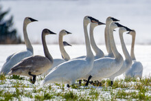 A Bevy Of Trumpeter Swans Standing In A River, Canada