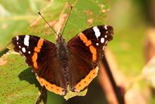 Papillon Vulcain En Automne