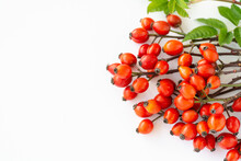 Branch Rosehips Dog Rose, Red Rosa Canina Hips - Medicinal Plants Herbs Composition To Enhance Immunity And Vitamins